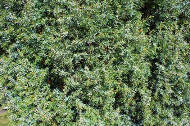 textura de fundo comum zimbro (Juniperus communis) - foto de acervo