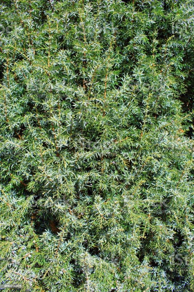 common juniper (Juniperus communis) background texture zbiór zdjęć royalty-free