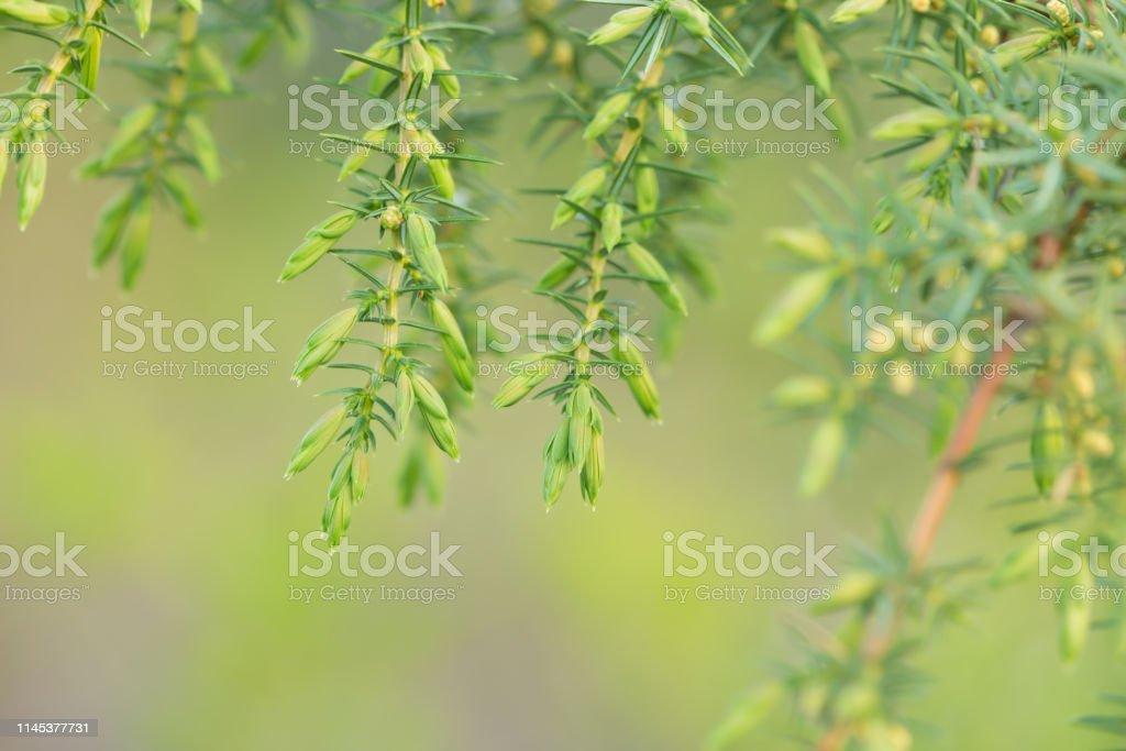 Common juniper, Juniperus communis twig Closeup of common juniper, Juniperus communis twig. Castor Bean Plant Stock Photo