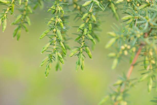 Common juniper, Juniperus communis twig stock photo
