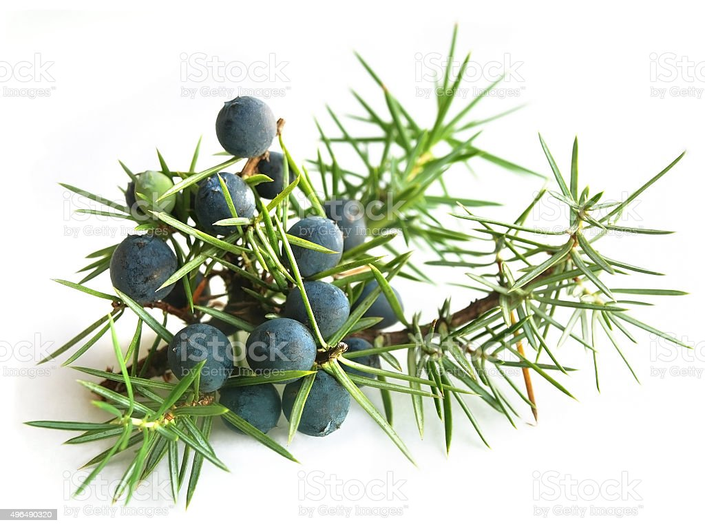 Common Juniper (Juniperus communis) stock photo