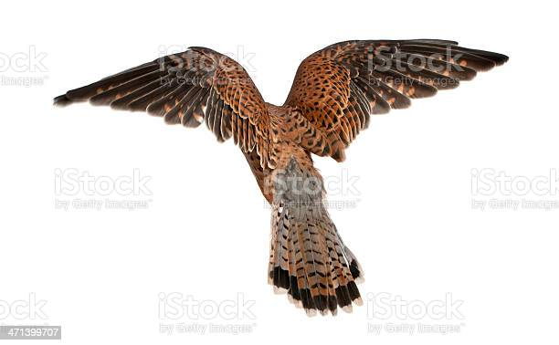 Common kestrel falco tinnunculus flying in front of white background picture id471399707?b=1&k=6&m=471399707&s=612x612&h=q6mbkbwjefwetnnrtu lkeewm m2qacy3pnajx3j3z8=