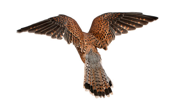 common kestrel, falco tinnunculus, flying in front of white background - falcon bird stock photos and pictures