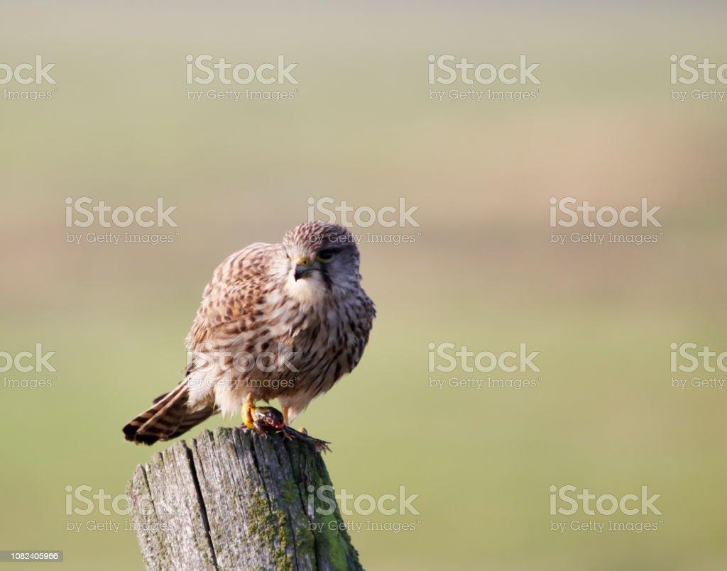 Gemeenschappelijke torenvalk (Falco tinnunculus) vrouw met prooi (kikker) foto