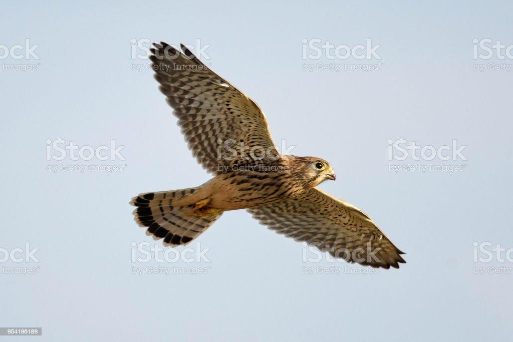 Common Kestrel in flight stock photo