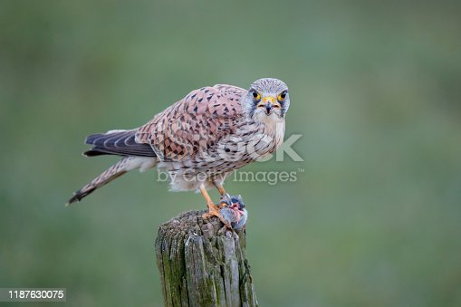 Common kestrel on a pole eating from a European Water Vole in the meadow in the Netherlands