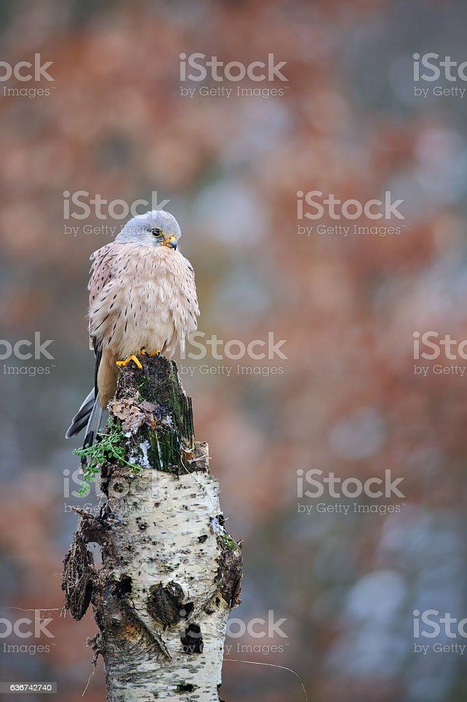Common kestrel on birch stock photo