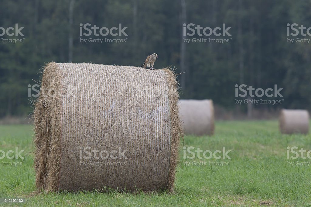 Common kestrel perched on a rolled up dry grass bale. stock photo