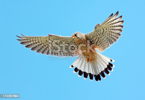Hovering Common Kestrel (Falco tinnunculus).