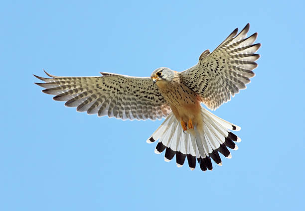 common kestrel (falco tinnunculus) - falcon bird stock photos and pictures