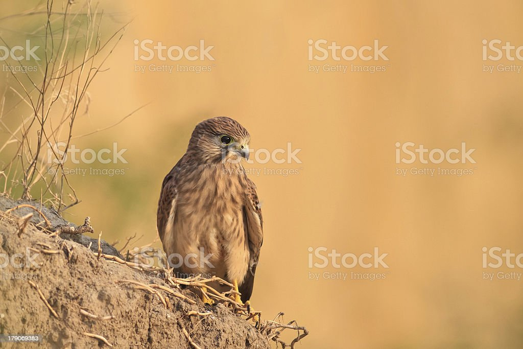 Common Kestrel royalty-free stock photo