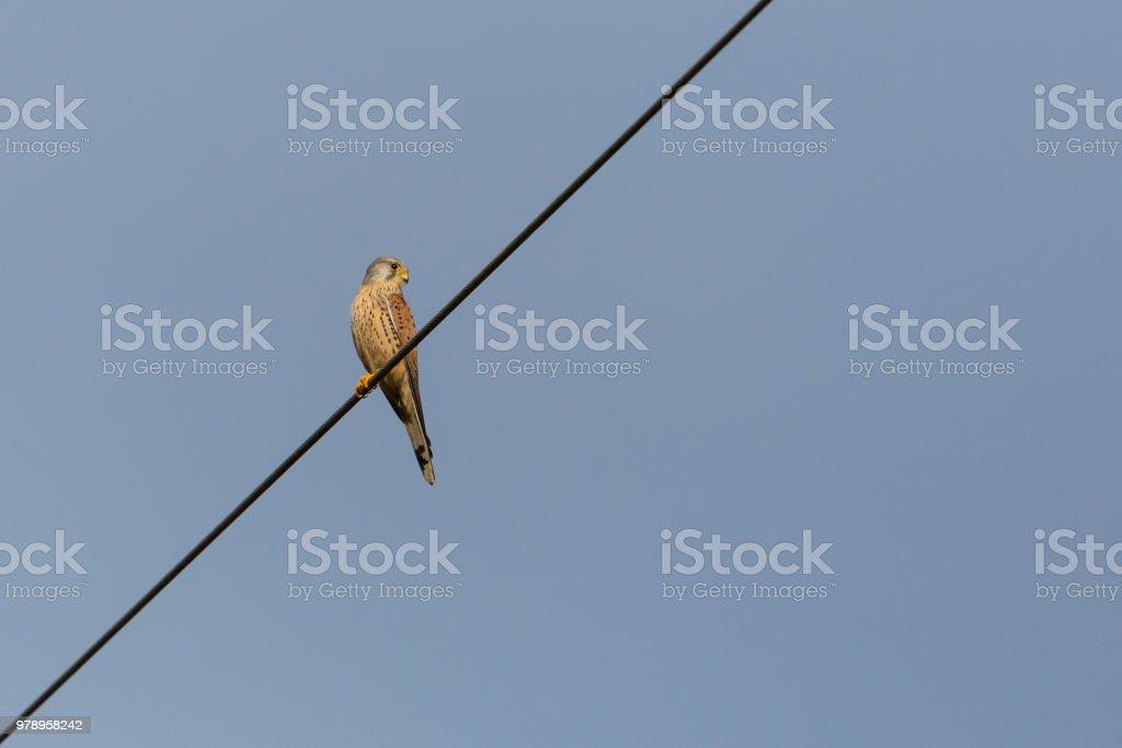 Turmfalken (Falco Tinnunculus) sitzen auf Stromleitung, Sonnenschein – Foto