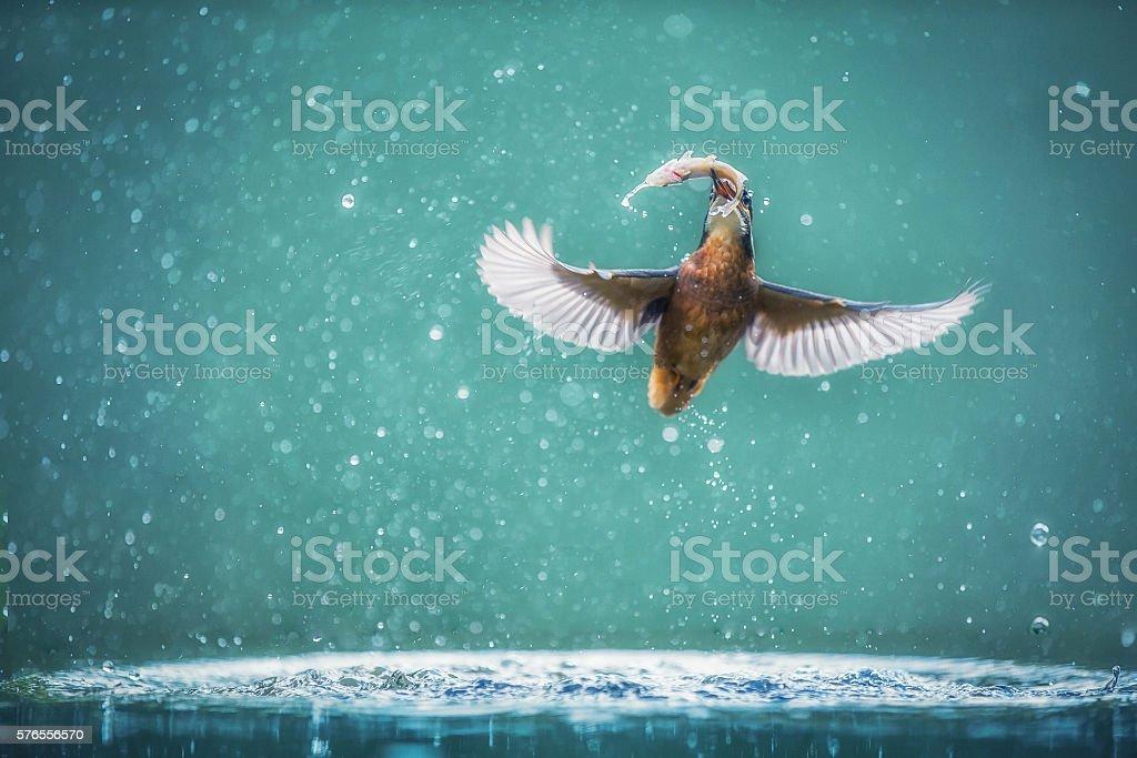 Common Kingfisher Alcedo atthis stock photo
