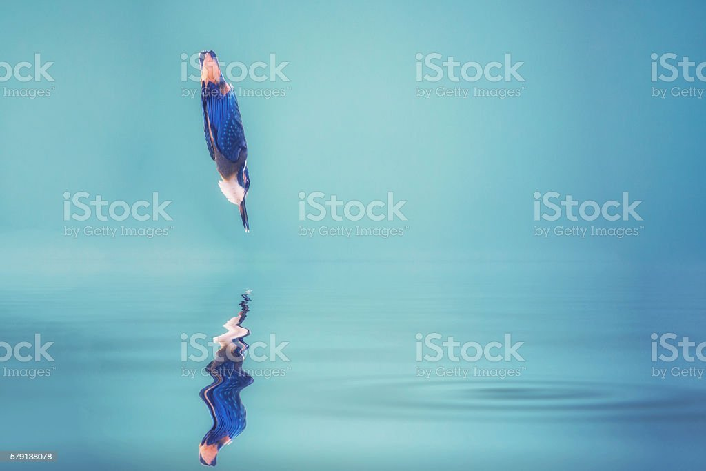 Common Kingfisher Alcedo atthis  - Lizenzfrei Arbeiten Stock-Foto