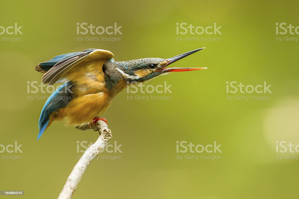 Common Kingfisher on screaming royalty-free stock photo