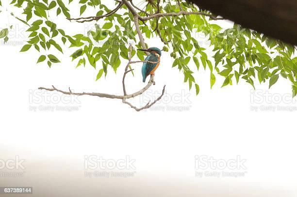Common kingfisher part 1 picture id637389144?b=1&k=6&m=637389144&s=612x612&h=ahnmlhnc nqu3jr0pwweyavxe1dholckgqgq6nfrn8c=