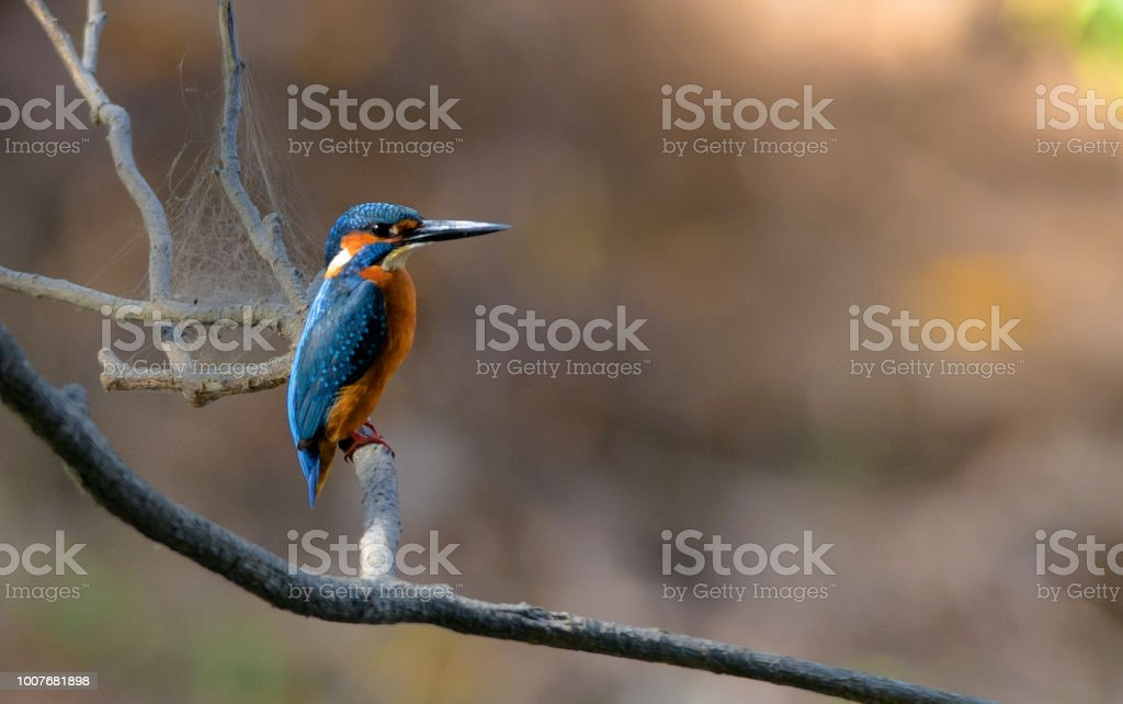 A Common Kingfisher perching on a branch of a tree stock photo