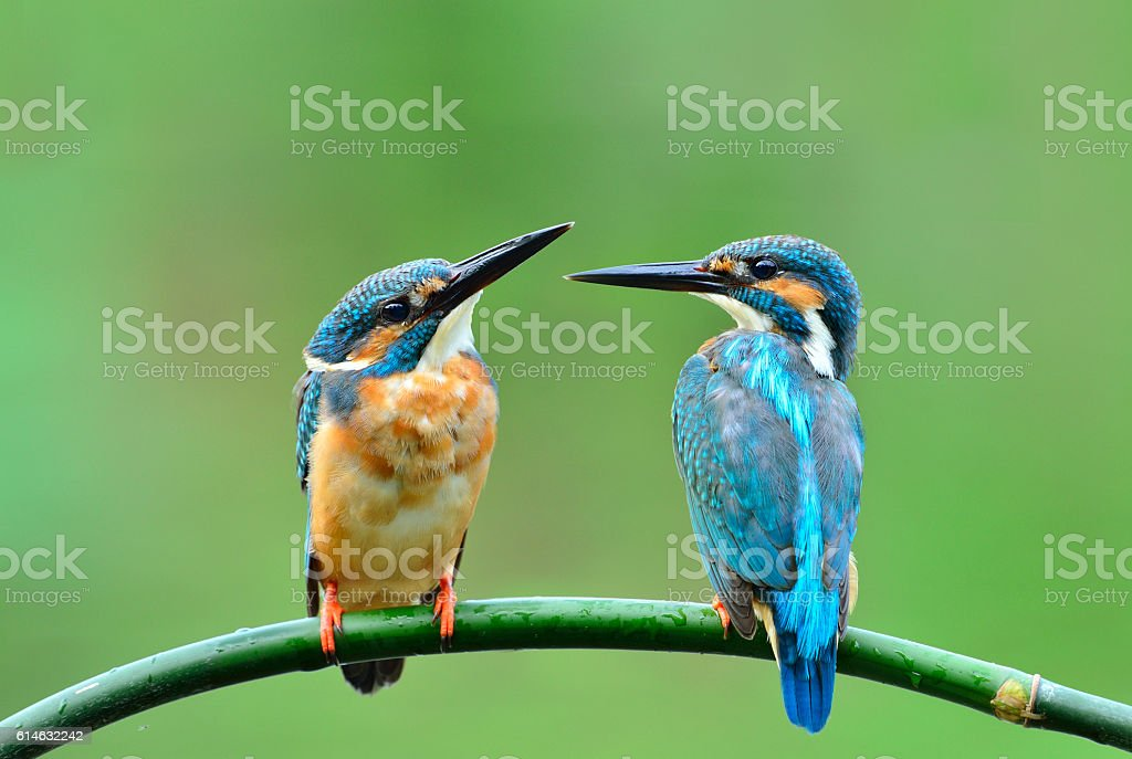 Common Kingfisher stock photo