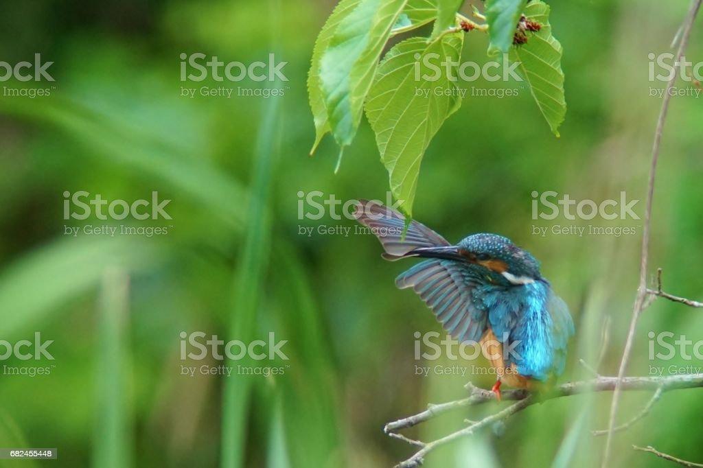 Common Kingfisher royalty-free stock photo