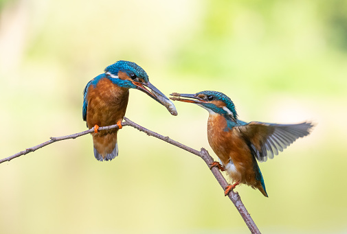 Common kingfisher ritual feeding