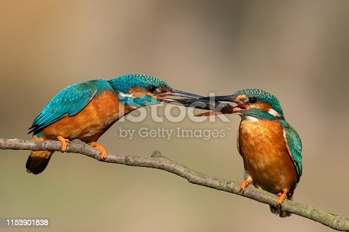 Male common kingfisher is feeding the female animal with a little fish.