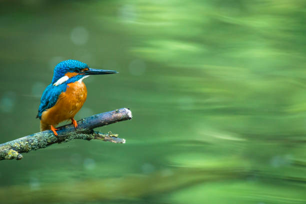 Common Kingfisher sitting on a branch overlooking a small pond Common kingfisher (Alcedo atthis) also known as the Eurasian kingfisher, and river kingfisher sitting on a branch overlooking a small pond. kingfisher stock pictures, royalty-free photos & images