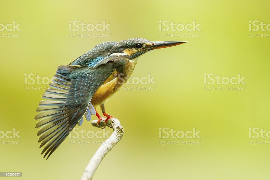 Common Kingfisher spread her wing royalty-free stock photo