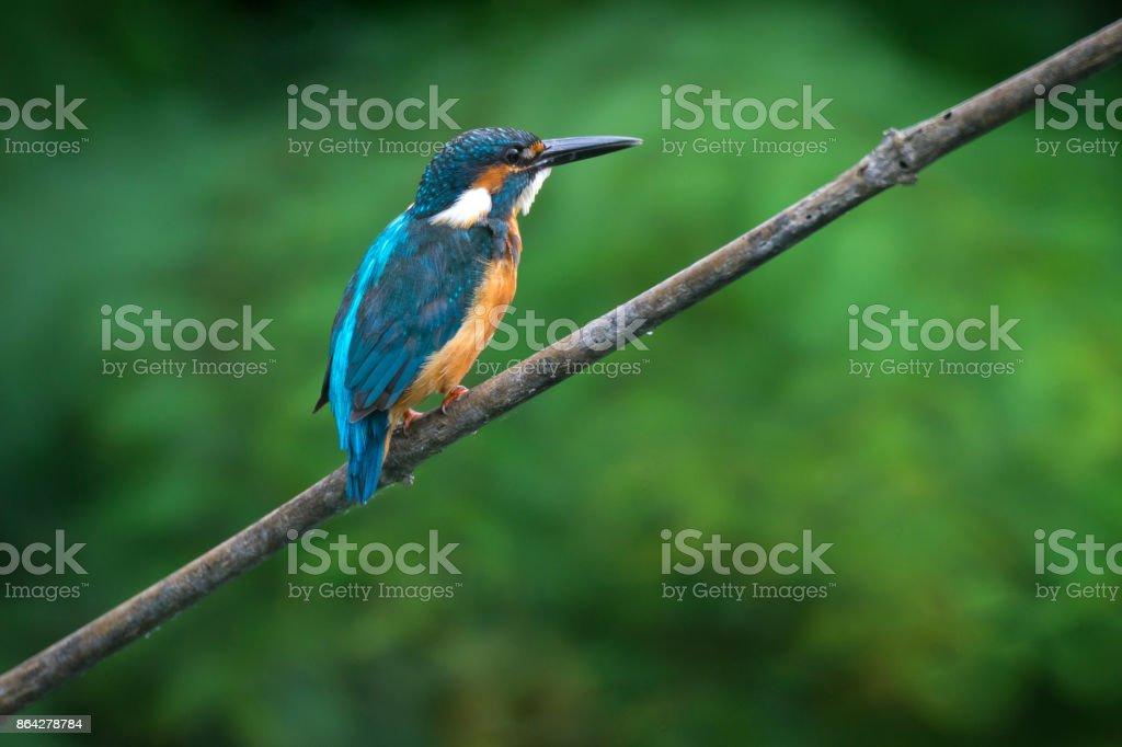 Common Kingfisher watting food royalty-free stock photo