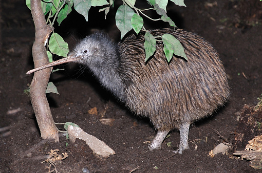 North Island brown kiwi, Apteryx australis, New Zealand