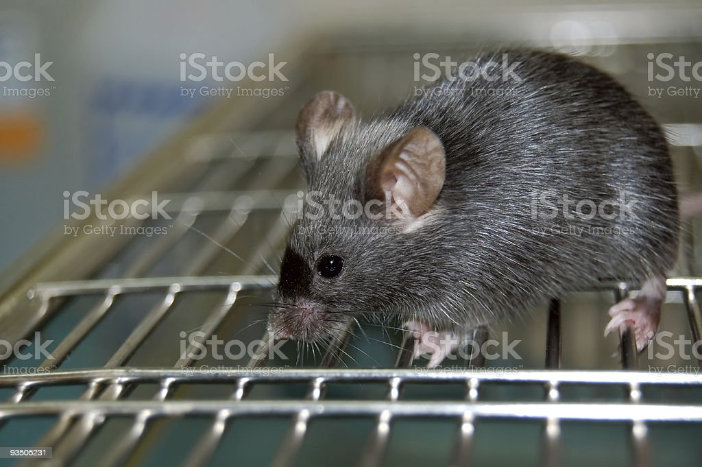 Common Lab Mouse stock photo