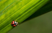 Common ladybug with spots on a leaf