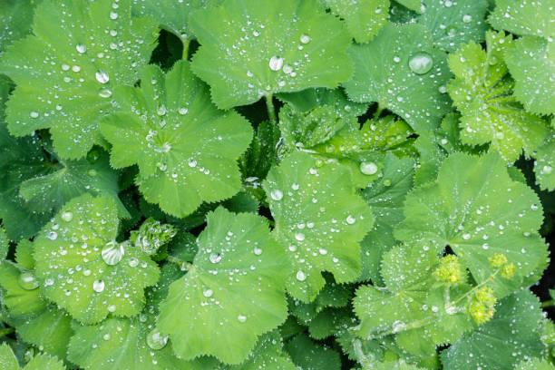 common lady's mantle plant growing with rain drops in organic garden - przywrotnik zdjęcia i obrazy z banku zdjęć