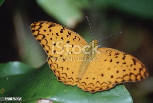 Common Leopard, Phalanta phalantha, Butterfly, India