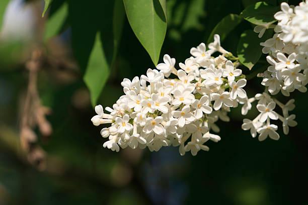 common lila (syringa vulgaris) - weißer holunder stock-fotos und bilder
