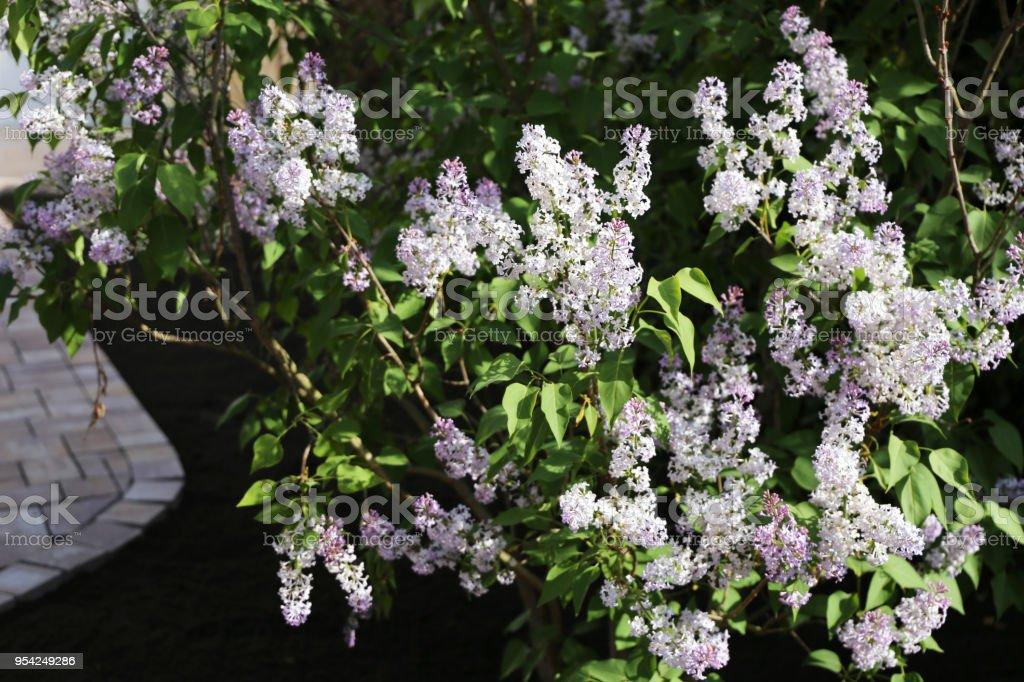 Common lilac (Syringa-vulgaris-Hybride) stock photo