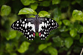 Papilio demoleus is a common and widespread swallowtail butterfly. The butterfly is also known as the common lime butterfly, lemon butterfly, lime swallowtail, small citrus butterfly, chequered swallowtail, dingy swallowtail and citrus swallowtail.