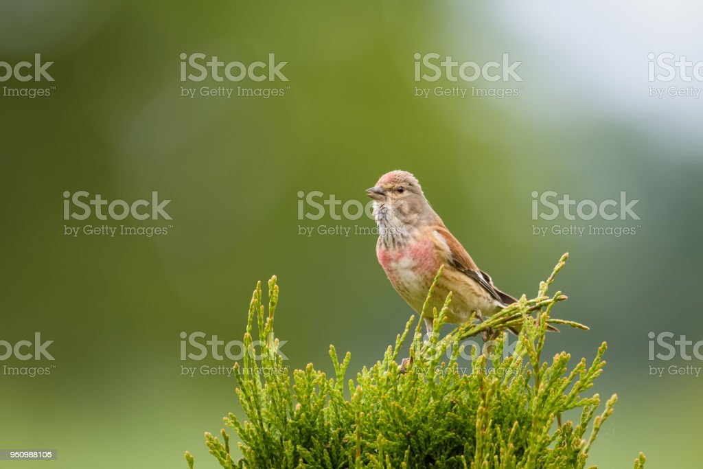 Common linnet sitting on top of a bush stock photo