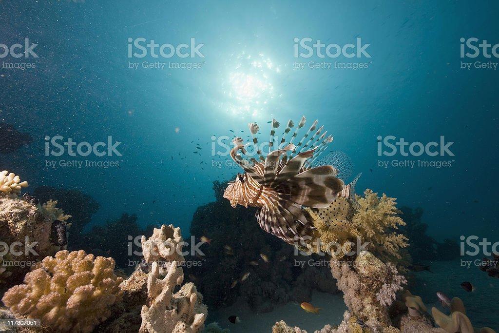 common lionfish (pterois miles) royalty-free stock photo
