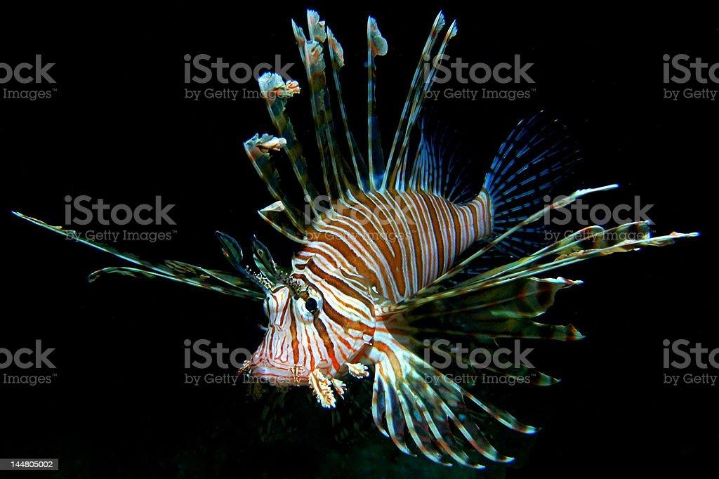 Common Lionfish royalty-free stock photo