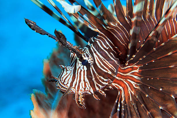 common lionfish - lionfish stock photos and pictures