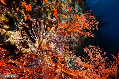 A Common Lionfish Pterois volitans camouflaged very well in a gorgonian sea fan. The focus is on the tail fin, the transparency is a part of the camouflage. As a predator, the Lionfish uses the camouflage as a hunting skill. Pantar Street, West Coast of Alor, Indonesia, 8°20'34