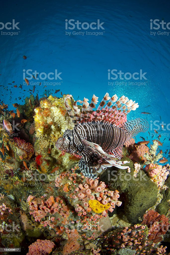 common lionfish - pterois volitans on colorful reef stock photo