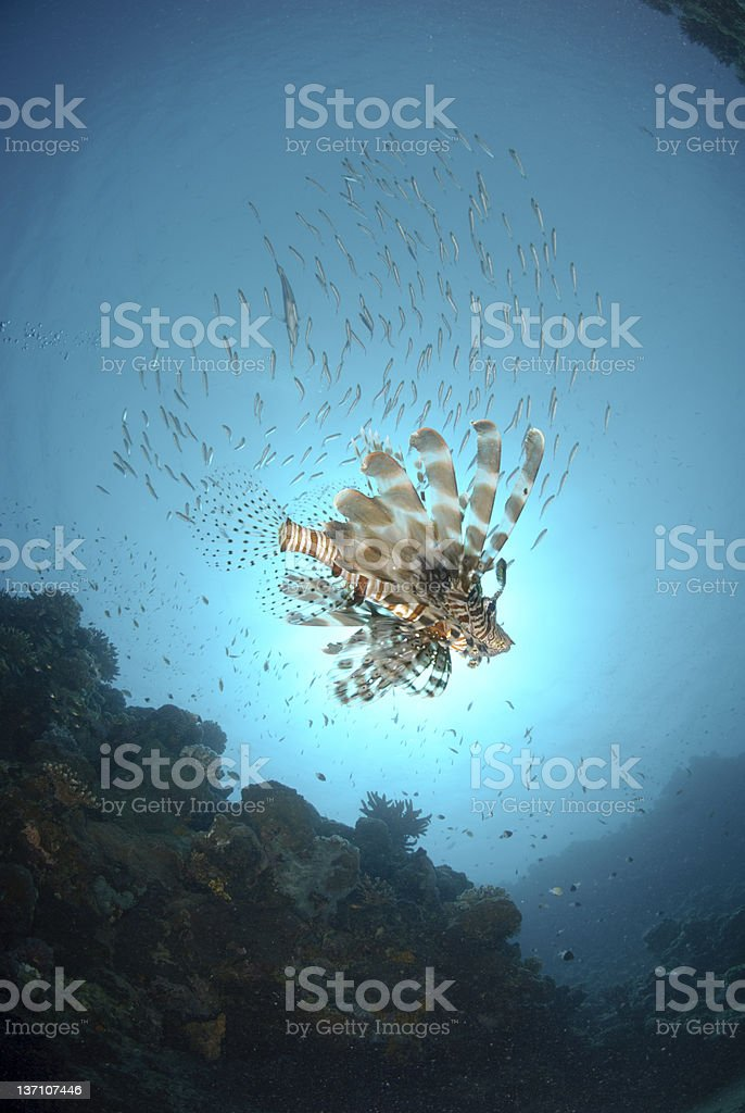 common Lionfish underneath school of fish stock photo