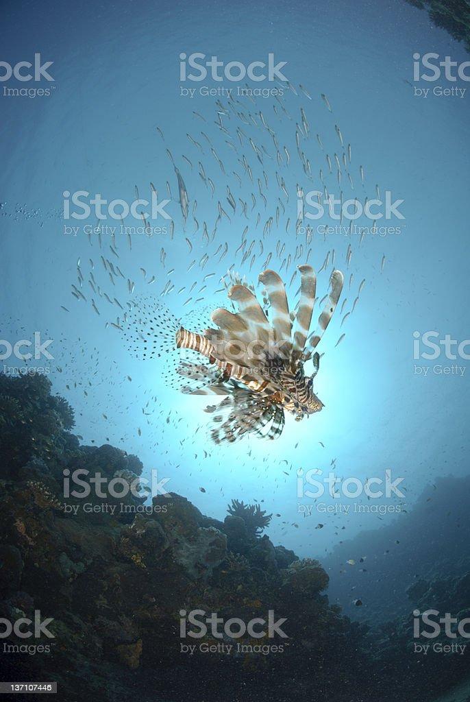 common Lionfish underneath school of fish stock photo