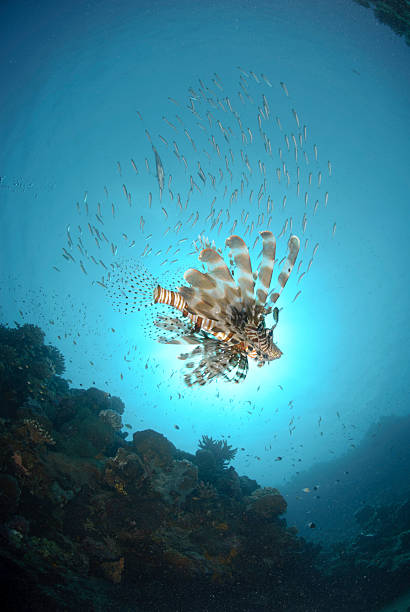 common lionfish underneath school of fish - lionfish stock photos and pictures