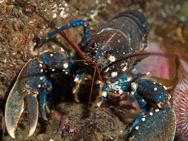 common lobster stock photo