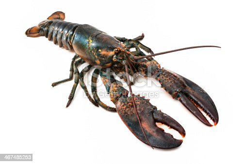 Living common lobster isolated on a white studio background