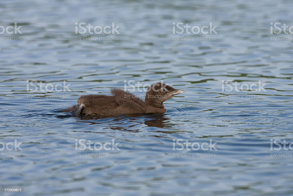 common Loon chick royalty-free stock photo