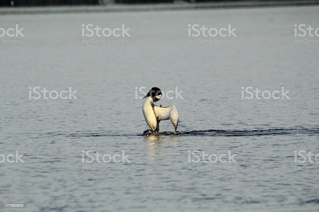 Common Loon Displaying stock photo