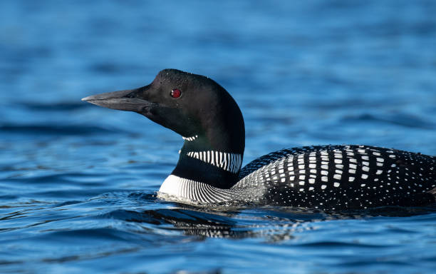 Common Loon in Maine stock photo